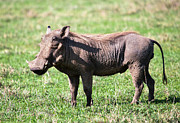Pig Art - The warthog on savannah in the Ngorongoro crater. Tanzania by Michal Bednarek