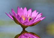 The Water Lily And The Bee Print by Kathy Baccari