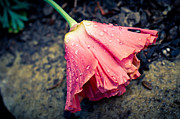 Raindrops Photos - The Weight Of Rain by Priya Ghose