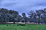 Country Scenes Art - The White Calf by Jan Amiss Photography