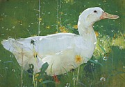 Waterfowl Paintings - The White Drake by Pg Reproductions