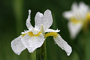 Rain Drop Prints - The White Iris Print by Juergen Roth