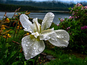 Rhizome Prints - The White Iris Print by Robert Bales