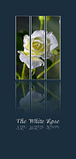 Sarah Christian Framed Prints - The White Rose Framed Print by Sarah Christian