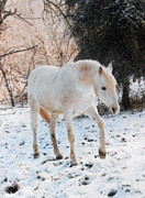 Paso Fino Stallion Prints - The White Stallions Winter Walk Print by Patricia Keller