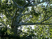 American Sycamore Prints - The White Tree Print by David Addams