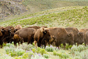 Bison Photo Metal Prints - The Wild West Metal Print by Bill Gallagher