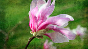 Petal Mixed Media Prints - The Windblown Pink Magnolia - Flora - Tree - Spring - Garden Print by Andee Photography