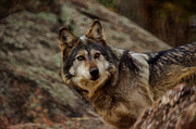 Endangered Wolves Prints - The Wolf 5 Print by Ernie Echols
