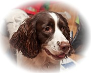 Springer Spaniel Framed Prints - The Wonders of Christmas Framed Print by Steve Harrington