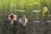 Wood Duck Photos - The Wood Ducks by Bill  Wakeley