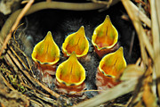Kelly Photo Prints - The Wren Quintet Print by Kelly Nowak