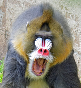 Jim Fitzpatrick - The Yawn of a Mandrill II