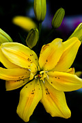 Spring Florals Photos - The Yellow Mokara Orchid by David Patterson