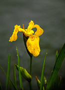 Wild Iris Posters - The Yellow One Poster by Robert Bales