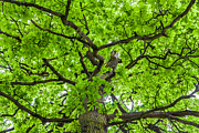 Acorns Photos - The Young Oak by Semmick Photo