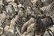 Waterhole Framed Prints - The Zebra Rush Framed Print by Paul W Sharpe Aka Wizard of Wonders