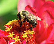 Zinnia Elegans Prints - The Zinnia and the bee Print by Optical Playground By MP Ray