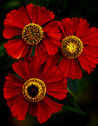 Zinnias Photos - Their Coming by David Roman