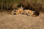Fox Kits Framed Prints - Theres always room for more Framed Print by Everet Regal