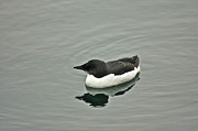 Paul OToole - Thick Billed Murre