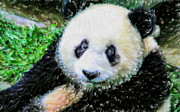 Panda Bears Photos - Thinking Of David Panda by Lanjee Chee