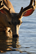 Deer Drinking Water Prints - Thirsty Deer in Lake McDonald Print by Bruce Gourley