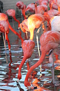 Flamingos Photos - Thirsty Flamingos by Janice Keener