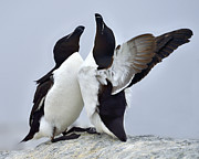 Razorbill Metal Prints - This Much Metal Print by Tony Beck