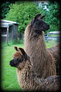 Llama Digital Art Framed Prints - This Way or That Framed Print by Kathy Sampson