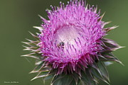 Thistle And The Bee Print by Tannis  Baldwin