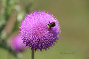 Thistle - Featured In Comfortable Art And Nature Wildlife Groups Print by EricaMaxine  Price