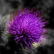 Nick Kloepping - Thistle Flower