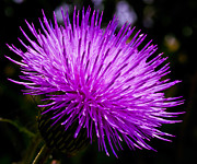 Bull Thistle Posters - Thistle Poster by Mark Alder
