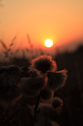 Paul Lilley Metal Prints - Thistles at Sunset Metal Print by Paul Lilley
