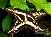 Papilio Thoas Posters - Thoas Swallowtail Butterflies Mating Poster by Millard H. Sharp