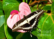 Papilio Thoas Posters - Thoas Swallowtail Butterfly Poster by Millard H. Sharp