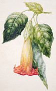 Yellow Leaves Drawings Prints - Thorn Apple flower from Ecuador Datura rosei Print by Augusta Innes Withers