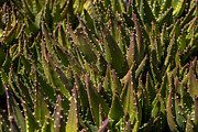 Thorns Posters - Thorns on succulent Poster by Garry Gay