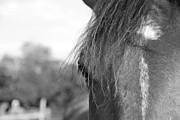 Farm Photo Metal Prints - Thoroughbred b/w Metal Print by Jennifer Lyon