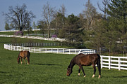 Board Fence Prints - Thoroughbred Spring - D000910 Print by Daniel Dempster