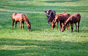 Horse Pasture Prints - Thoroughbreds Print by Olivier Le Queinec