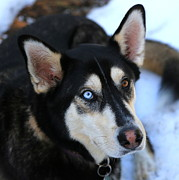 Husky Photo Prints - Those Eyes Print by Carol Groenen
