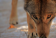 Wolf Photos - Those Eyes by Karol  Livote