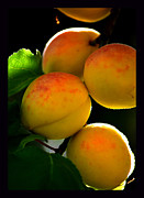Those Glowing Golden Apricots Print by Susanne Still