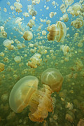 Indo-pacific Ocean Framed Prints - thousands of harmless Golden Jellyfish underwater photograph from Jellyfish Lake in Palau Framed Print by Brandon Cole