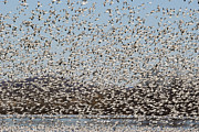 Sight See Posters - Thousands of Snow Geese Poster by Crystal Wightman