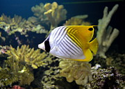 Eleu  Tabares - Threadfin Butterflyfish