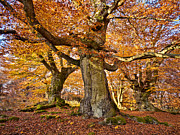 Herbstlaub Photos - Three Ancient beech trees - Germany by Martin Liebermann