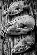 Bear Photos - Three Animal Skulls # 2 by Garry Gay